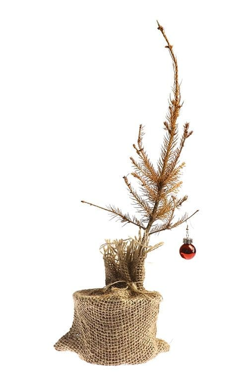 dispose of your old christmas tree before it dries out makes a mess and causes a fire you have lots of disposal options - What To Do With Old Christmas Trees